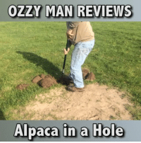 Memes, Reviews, and Alpaca: OZ MAN REVIEWS  Alpaca in a Hole Here's me commentary on an Alpaca in a hole. SOUND ON🎙