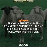 Memes, Quite, and Suicide: @Pactynert  IN 2005 IN TURKEY, A SHEEP  COMMITTED SUICIDE BY JUMPING  OFF A CLIFF AND 1500 SHEEP  FOLLOWED THE FIRST ONE. In 2005 A Turkish shepherds was watching his herd of sheep graze, one sheep decided that it had enough of the world and jumped to its death. It doesn't stop there though… As the stunned Turkish shepherds looked on, their herd of sheep one by one followed the initial sheep's actions and jumped to their death as well – a nearly whopping 1,500 of them! It was reported that in the end, 450 sheep died after the mass suicide jump. They were able to save quite a few as those who jumped later were saved as the pile of sheep got higher, therefore the pile became more cushioned. Unfortunately, this mass suicide of sheep had an estimated loss to families of $100,000 – a very significant amount of money as the average GDP per head is around the figure of $2,700 Turkey