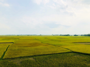 Paddy fields stretching to the horizon. (Bangladesh): Paddy fields stretching to the horizon. (Bangladesh)