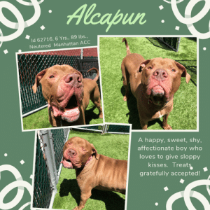 "Comfortable, Dogs, and Family: PAlcapun  Id 62716, 6 Yrs ., 89 lbs.,  Neutered Manhattan ACC  A happy, sweet, shy,  affectionate boy who  loves to give sloppy  kisses. Treats  gratefully accepted! INTAKE DATE – 6/10/2019  Adopted in May, Returned in June!  Why?  Uncommitted, unfit adopters.  Period! We love this big red boy with his smushy jowels and happy smile. ALCAPUN is such a big bear of a boy with a loving heart who only wants to be loved in return.  And he so deserves to be happy and find an experienced family who will take care of him for all of his life and make him happy. As a volunteer writes:  ""Hi everyone! My name is Alcapun! I know what you're thinking... sounds like Al Capone, but I'm no gangster so feel free to (sing it with me!) call me Al. I was a little bit scared when I first arrived but after meeting some canine and human friends, I have been feeling much more comfortable! I love to get up close to my human pals and give them big, slobbery kisses to show how much I love them, and to ask for a few extra scratches or treats. I've been getting a lot of those while my friends teach me to 'sit' and lie down! They call it learning my manners, but I call it snack time. Either way, we all have so much fun it doesn't feel like training! Please come and meet me at Manhattan ACC and I'll show you what I have learned!""  So please don't wait.  If you are an experienced foster or adopter in an adult only home, you need to hurry and Message our page or email us at MustLoveDogsNYC@gmail.com for assistance saving Alcapun's life.  ALCAPUN, ID# 62716, 6 yrs old, XX lbs, Neutered Male Manhattan ACC, Large Mixed Breed, Brown / White    Owner Surrender Reason:  Shelter Assessment Rating:  Medical Behavior Rating:  ---------------------------------------------------------  NOTES FIRST STAY / Intake 05-13-2019   ALCAPUN, ID# 62716, 6 yrs old, 89.6 lbs, Manhattan Animal Care Center, Large Mixed Breed Cross, Brown / White Neutered Male,  Owner Surrender Reason:  Shelter Assessment Rating:  Medical Behavior Rating:  *** TO FOSTER OR ADOPT ***    If you would like to adopt a NYC ACC dog, and can get to the shelter in person to complete the adoption process, you can contact the shelter directly. We have provided the Brooklyn, Staten Island and Manhattan information below. Adoption hours at these facilities is Noon – 8:00 p.m. (6:30 on weekends)  If you CANNOT get to the shelter in person and you want to FOSTER OR ADOPT a NYC ACC Dog, you can PRIVATE MESSAGE our Must Love Dogs page for assistance. PLEASE NOTE: You MUST live in NY, NJ, PA, CT, RI, DE, MD, MA, NH, VT, ME or Northern VA. You will need to fill out applications with a New Hope Rescue Partner to foster or adopt a NYC ACC dog. Transport is available if you live within the prescribed range of states.  Shelter contact information: Phone number (212) 788-4000 Email adopt@nycacc.org  Shelter Addresses: Brooklyn Shelter: 2336 Linden Boulevard Brooklyn, NY 11208 Manhattan Shelter: 326 East 110 St. New York, NY 10029 Staten Island Shelter: 3139 Veterans Road West Staten Island, NY 10309  *** NEW NYC ACC RATING SYSTEM ***  Level 1 Dogs with Level 1 determinations are suitable for the majority of homes. These dogs are not displaying concerning behaviors in shelter, and the owner surrender profile (where available) is positive.    Level 2  Dogs with Level 2 determinations will be suitable for adopters with some previous dog experience. They will have displayed behavior in the shelter (or have owner reported behavior) that requires some training, or is simply not suitable for an adopter with minimal experience.    Level 3 Dogs with Level 3 determinations will need to go to homes with experienced adopters, and the ACC strongly suggest that the adopter have prior experience with the challenges described and/or an understanding of the challenge and how to manage it safely in a home environment. In many cases, a trainer will be needed to manage and work on the behaviors safely in a home environment."