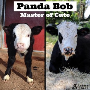 Cute, Target, and Tumblr: Panda Bob  Master of Cute,  Animal  lace animalplace:  Watch out world! Panda Bob knows how to cute.