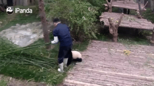 Love, Monster, and Tumblr: Panda magnolia-noire:  pussypoppinlikepopcorn:  I love seeing videos of pandas being manhandled  he loves you give him a hug you monster