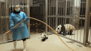 Panda Keeper Gives The Misbehaved Cub Back To His Mum: Pandapia Panda Keeper Gives The Misbehaved Cub Back To His Mum