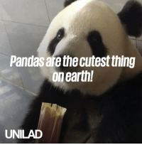 Dank, Animal, and Earth: Pandas are the cutest thing  on earth!  UNILAD I think pandas are my new favourite animal... 😂🐼