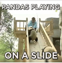 Memes, Panda, and 🤖: PANDAS PLAYING  ON A SLIDE Having the time of their lives! 🐼🐼 (youtube-Chengdu PAW)
