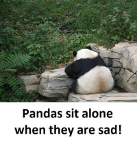 Follow our new page - @sadcasm.co: Pandas sit alone  when they are sad! Follow our new page - @sadcasm.co