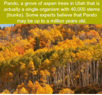 Memes, Trunks, and Ups: Pando, a grove of aspen trees in Utah that is  actually a single organism with 40,000 stems  (trunks). Some experts believe that Pando  may be up to a million years old.