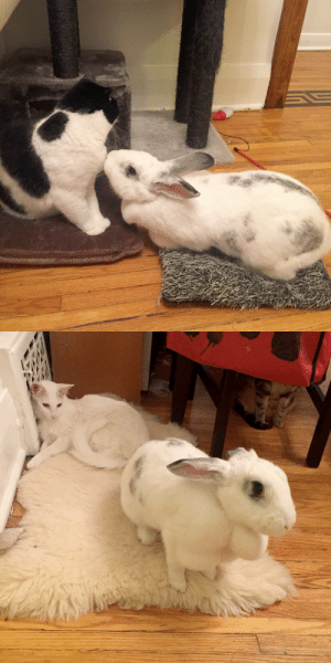 Head, Love, and Tumblr: pangur-and-grim: pangur-and-grim:  pangur-and-grim: if your rabbit is smaller than an American Alligator, frankly? that's cowardice reason why I love Wheat Thick #325: due to her STUPIDLY WIDE HEAD, her ears have trouble standing upright  hold still while I lob you into the sea