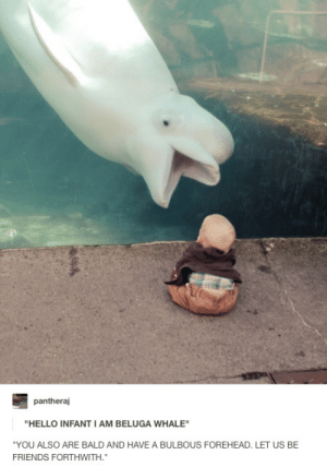 """Bulbous: pantheraj  """"HELLO INFANT I AM BELUGA WHALE""""  """"YOU ALSO ARE BALD AND HAVE A BULBOUS FOREHEAD. LET US BE  FRIENDS FORTHWITH"""