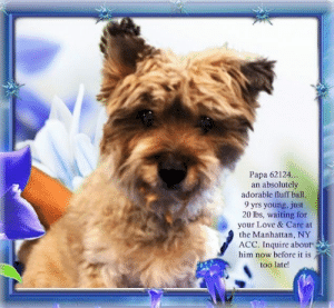 Animals, Desperate, and Dogs: Papa 62124...  an absolutely  adorable fluff ball  9 yrs young, just  20 lbs, waiting for  your Love & Care at  the Manhattan, NY  ACC. Inquire about  him now before it is  too late! **FOSTER or ADOPTER NEEDED ASAP** Papa 62124... an absolutely adorable fluff ball, 9 yrs young, just 20 lbs, waiting for your Love & Care at the Manhattan, NY ACC. Inquire about him now before it is too late!  ✔Pledge✔Tag✔Share✔FOSTER✔ADOPT✔Save a life!  Papa 62124 Small Mixed Breed Sex male Age 9 yrs (approx.) - 20 lbs My health has been checked.  My vaccinations are up to date. My worming is up to date.  I have been micro-chipped.   I am waiting for you at the Manhattan, NY ACC. Please, Please, Please, save me!  **************************************** To FOSTER or ADOPT this little nugget, SPEAK UP NOW  Direct adopt from NYC ACC OR  APPLY with rescues  OR  message Must Love Dogs - Saving NYC Dogs for assistance immediately! **************************************  The general rule is to foster you have to be within 4 hours of the NYC ACC approved New Hope partner rescues you are applying with and to adopt you will have to be in the general NE US area; NY, NJ, CT, PA, DC, MD, DE, NH, RI, MA, VT & ME (some rescues will transport to VA).  **************************************  You must apply to rescues already approved to pull from NYC ACC shelters. Rescues can't do anything without APPLICATIONS! If your application is approved, rescue will arrange transport. ************************************** ... NOTE:  *** WE HAVE NO OTHER INFORMATION THAN WHAT IS LISTED WITH THIS FLYER ***  - For more information, or to direct adopt, please EMAIL adopt@nycacc.org  - SUBJECT Line: ** Dog's Name & ID # **  - Don't forget to add your email address and phone numbers where they can reach you to your email as well. ... RE: ACC site Just because a dog is not on the ACC site does NOT necessarily mean safe. There are many reasons for this like a hold or an eval has not been c