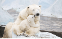 Bear, Polar Bear, and Papa: Papa Polar Bear and Son