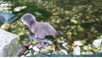 Target, Tumblr, and Blog: papermoon262:  offthe-deep:  rosy-semantics: Pip the otter going into the water for the first time!  Pip is so squeaky 😍  @yeahthatotheronewhatshername