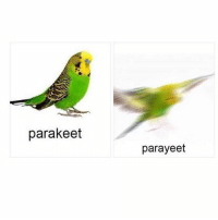 thank you for the birthday wishes darlings -n: parakeet  parayeet thank you for the birthday wishes darlings -n