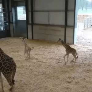 Cute, Tumblr, and Zoomies: paranomosaic-potato:  bloom-a-blog: Baby Giraffe zoomies  They look so stupid and cute