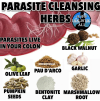 Ali, Facebook, and Food: PARASITE CLEANSING  HERBS  IG/FB  HOLISTIC  ALI  PARASITES LIVE  BLACK WALNUT  IN YOUR COLON  GARLIC  PAU D'ARCO  OLIVE LEAF  PUMPKIN  BENTONITE MARSHMALLOW  SEEDS  CLAY  ROOT Follow ➡️ @holisticali 🔴SWIPE🔴 PLEASE LIKE AND TAG!! CANDIDA AND PARASITE CLEANSING. DONT BE CHEAP WITH YOUR LIKES, ALLOW THE MESSAGE TO GO FAR. You can find all these at your local health food store. You can do 1 or more of the herbs depending on how strong you want the cleanse to be. Please research the individual herbs if you are pregnant or breastfeeding to see if they are safe for you. PLEASE PLEASE LIKE AND TAG! HolisticAli Parasites Candida Food IG 👉🏽 @realrawtruth FACEBOOK-YOUTUBE-SNAPCHAT 👉🏽 @holisticali SUBSCRIBE TO NEW YOUTUBE LINK IN BIO