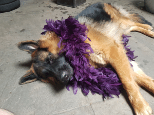 Party pup sleeping after a ruff night out: Party pup sleeping after a ruff night out
