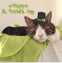 While you're all out celebrating St Patrick's Day, I'm having a quiet celebration for St Gertrude, the patron saint of CATS! Have a PAWsome day, no matter what you do! ❤😸🍀🌈 Happiness, Monty StPatricksDay StGertrudesDay: Patrick's Dog  Facebook.com/MontyBoyCa While you're all out celebrating St Patrick's Day, I'm having a quiet celebration for St Gertrude, the patron saint of CATS! Have a PAWsome day, no matter what you do! ❤😸🍀🌈 Happiness, Monty StPatricksDay StGertrudesDay