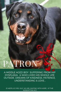 "9/11, Being Alone, and Anaconda: PATRON  A MIDDLE AGED BOY SUFFERING FROM HIP  DYSPLASIA, & WHO LIVED HIS WHOLE LIFE  OUTSIDE, DREAMS OF KINDNESS, PATIENCE  UNDERSTANDING &LOVE...  ID 46576. 6.5 YRS. OLD. 140 LBS. WAITING WITH HOPE, AT THE  MANHATTAN ACC *** TO BE KILLED – 11/10/2018 ***  The day he was born, we bet that Patron never thought that the trajectory of his life would be one of isolation, loneliness, neglect and sorrow.  He was born, like all puppies, a small wiggly boy with a hopeful spirit and all the optimism and joy that is the hallmark of youth.  He was probably very friendly and social and sweet, wiggling up to people for pets and hugs.  But did he get them?  By the looks of his owner surrender notes, he didn't.  And even worse, he was relegated to having to live outside, 24 x 7, every day of the year. Now, at age 6, he has hip dysplasia, he is under-socialized with people outside of his immediate family, and he lacks the basic skills that most puppies get – housetraining for example.  But he did have one friend, another dog in the family who most likely was kept outside as well.  Another dog he was relaxed and playful with.   We can't imagine what their lives were like, nights spent in the frigid cold, the snow, the rain, the ice…nights spent looking up longingly at brightly lit windows, warm rooms, people laughing and eating and not giving Patron and his friend a single thought.  Now they are disadvantaged, and all because of their horrible parent.  Patron is in trouble, he needs an experienced foster or adopter in an adult only home who will give him the few things he deserved and has never known – patience, compassion, and love.  Will you throw him a lifeline?  If you can save his life hurry and PRIVATE  MESSAGE our page or email us at MustLoveDogsNYC@gmail.com for assistance.   He is neutered and ready to begin a new life.   PATRON, ID 46576 @ 6.5 Yrs. Old, 140 lbs. Manhattan ACC, Large Breed, Rottweiller, Black  Neutered Male Owner Surrender Reason:  Landlord won't allow Shelter Assessment Rating:  New Hope Rescue Only Intake Behavior Rating:   3.  Yellow  I came to the shelter with BARON (also on the list to die), Id 46575:  https://www.facebook.com/mldsavingnycdogs/photos/a.112459638940315/861601724026099/?type=3&theater  AT RISK MEMO:  Based on behavior reported in previous home and observations in care center, we feel PATRON would benefit from placement with a partner who can manage under socialized behavior concerns. Medically we suspect he has hip dysplasia.  INTAKE NOTE – DATE OF INTAKE 11/06/2018:  Patron did not allow handling, as I approached him to take a picture, he hard barked and lunged. Owner had to place the dog inside of the kennel.  SURRENDER NOTES – BASIC INFORMATION:   Patron is a neutered 6 yr old male dog. He was surrendered due to the landlord objecting with the dog being kept outside and scaring people. The dog was being used a guard dog.   He previously lived outside with 1 dog.   Patron is Fearful and aggressive with strangers. A staff member approached Patron to take a picture and he growled and then lunged at the staff member. Patron has not spent time around children.  Patron has spent time with one other dog and he was relaxed and respectful.  Patron has not been around any cats.   Patron will growl and snap if food or toys are taken away from him. There is no known bite history.  He is not housetrained and has a high energy level.  He has never had any medical issues.   For a New Family to Know: Patron is confident and independent. He has been a guard dog, he will alert owner by barking loudly. He has been kept outdoors only. He eats both wet and dry food. Pedigree brand. He will pull very hard on the leash, if walked. If anyone unfamiliar approaches the home Patron will bark loudly.    SHELTER ASSESSMENT – DATE OF ASSESSMENT:  11/8/2018 Summary:: Due to Patron's known history combined with the aloof behavior displayed in the care center as well as his weak hind end, we believe a handling assessment is not appropriate to perform at this time.  INTAKE BEHAVIOR - Date of intake:: 11/6/2018.  Summary:: Barked and lunged at staff member, did not allow handling, placed into kennel by owner  MEDICAL BEHAVIOR - Date of initial:: 11/6/2018.  Summary:: Tense, tolerated handling  ENERGY LEVEL:: Patron has displayed a low energy level in the care center. IN SHELTER OBSERVATIONS:: 11/8/2018 When approached by another dog through a barrier (fence), Patron was observed to low growl. He readily recovered and moved away.   BEHAVIOR DETERMINATION:: NEW HOPE ONLY Behavior Asilomar: TM - Treatable-Manageable  Recommendations:: No children (under 13),Place with a New Hope partner Recommendations comments:: No children (under 13): Due to the challenges observed in his previous home environment, we believe Patron would be best set up to succeed in an experienced adult only home at this time. Place with a New Hope partner: In his previous home environment Patron was said to be kept outside and used as a guard dog; his previous owner reports that he is fearful of strangers and will lunge and hard bark when approached. In the care center, he has tolerated some gentle and minimal handling but remains aloof overall and has not attempted to interact with handlers. Because of his known history combined with aloof behavior in the care center, we believe Patron would be best set up to succeed through placement with an experienced rescue partner who will allow him to acclimate and decompress at his own pace - further assessment is recommended before placement into a permanent home environment. Guidance from a professional trainer or veterinary behaviorist is advised should Patron present any challenges in his future home environment. The behavior department recommends exercising safe and appropriate handling. Potential challenges: : House soiling,Resource guarding,Fearful/potential for defensive aggression Potential challenges comments:: House-soiling: Patron is reported to not be house-trained as he has lived outside in a yard mostly. Patron will need guidance and consistency to learn to eliminate outside. We recommend crate training (the crate must be made positive and never used as a punishment), frequent walks, rewards for eliminating outside (treats, toys, games), consistent feeding schedule, and careful monitoring when inside. Accidents should never be punished as it can damage the human-dog relationship and is likely to make the problem worse. Resource guarding: Patron is reported to growl and snap over food in his previous home environment. We recommend that Patron be left alone while eating, and that food guarding behavior modification steps (available at ASPCApro.org) be utilized if this behavior is problematic in his future home. Nothing should ever be taken directly out of Patron's mouth, and any time something is removed he should be rewarded with a high value treat or toy. He should be taught the ""drop"" cue and trade-up games. Fearful/potential for defensive aggression: Patron is reported to be fearful around strangers and will hard bark and lunge if approached which was initially observed in the care center upon intake. When being handled after, they have remained aloof so these behaviors may be possibly suppressed due to the stress of the care center. The behavior department recommends an experienced adult home only until he can acclimate to his new home environment for the behavior to be further assessed. Consultation with a professional trainer/behaviorist is advised; force-free, reward based training only is recommended.  MEDICAL NOTES:    9/11/2018  (vet notes) [DVM Intake] DVM Intake Exam Estimated age: 6 years Microchip noted on Intake? Y Microchip Number (If Applicable):985113002107653 History : Subjective: BAR Observed Behavior -Timid, quiet, seems unpredictable but did not growl or lunge Evidence of Cruelty seen -No Evidence of Trauma seen -No Objective T = P =80 R =eup BCS 5/9 EENT: Eyes clear, ears clean, no nasal or ocular discharge noted Oral Exam: Muzzled, could not examine PLN: No enlargements noted H/L: NSR, NMA, CRT < 2, Lungs clear, eupnic ABD: Non painful, no masses palpated U/G: M/N MSI: Ambulatory x 4, very stiff at the hips, skin free of parasites, no masses noted, healthy hair coat CNS: Mentation appropriate - no signs of neurologic abnormalities Rectal: Clean externally Assessment: Stiff hips-suspect hip dysplasia +/- arthritis Otherwise apparently healthy Prognosis: Good Plan: Rimadyl 100 mg PO BID long-term for arthritis. Recommend blood work once placed to make sure liver and kidney values ok so we can continue NSAID for arthritis long-term. SURGERY: Already neutered  6/11/2018   L V T Notes Scan negative BARH AMBx4 Nervous,but allowed handling Neutered~6yrs EENT:WNL Overweight Mild gingivitis/tartar No fleas seen Nosf   *** TO FOSTER OR ADOPT ***    PATRON IS RESCUE ONLY. You must fill out applications with New Hope Rescues to foster or adopt him. He cannot be reserved online at the ACC ARL, nor can he be direct adopted at the shelter. PLEASE HURRY AND MESSAGE OUR PAGE FOR ASSISTANCE!   HOW TO RESERVE A ""TO BE KILLED"" DOG ONLINE (only for those who can get to the shelter IN PERSON to complete the adoption process, and only for the dogs on the list NOT marked New Hope Rescue Only). Follow our Step by Step directions below!   *PLEASE NOTE – YOU MUST USE A PC OR TABLET – PHONE RESERVES WILL NOT WORK! **   STEP 1: CLICK ON THIS RESERVE LINK: https://newhope.shelterbuddy.com/Animal/List   Step 2: Go to the red menu button on the top right corner, click register and fill in your info.   Step 3: Go to your email and verify account  \ Step 4: Go back to the website, click the menu button and view available dogs   Step 5: Scroll to the animal you are interested and click reserve   STEP 6 ( MOST IMPORTANT STEP ): GO TO THE MENU AGAIN AND VIEW YOUR CART. THE ANIMAL SHOULD NOW BE IN YOUR CART!  Step 7: Fill in your credit card info and complete transaction    HOW TO FOSTER OR ADOPT IF YOU *CANNOT* GET TO THE SHELTER IN PERSON, OR IF THE DOG IS NEW HOPE RESCUE ONLY!   You must live within 3 – 4 hours of NY, NJ, PA, CT, RI, DE, MD, MA, NH, VT, ME or Norther VA.   Please PM our page for assistance. You will need to fill out applications with a New Hope Rescue Partner to foster or adopt a dog on the To Be Killed list, including those labelled Rescue Only. Hurry please, time is short, and the Rescues need time to process the applications.  Shelter contact information Phone number (212) 788-4000  Email adoption@nycacc.org  Shelter Addresses: Brooklyn Shelter: 2336 Linden Boulevard Brooklyn, NY 11208 Manhattan Shelter: 326 East 110 St. New York, NY 10029 Staten Island Shelter: 3139 Veterans Road West Staten Island, NY 10309"