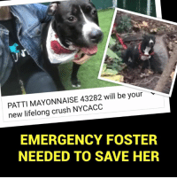 🚨AT RISK OF EUTHANASIA🚨EMERGENCY FOSTER NEEDED‼️ Approved fosters or adopters, contact nybcfosters@Gmail.com immediately or apply to foster at www.nybullycrew.org  Patti Mayonnaise was surrendered to MACC last week after the person that found her in the park in the Bronx gave her to a random stranger before we arrived and could take possession of her. Then because her story was in the media, the owner contacted NYBC and promised to pick her up at MACC because she was on a stray hold, which she did not.   Now she is at risk because of kennel cough and we need a temporary foster to help save Patti‼️ 🙏 She just needs a foster for 2 weeks before she can come to the facility.  PLEASE HELP SAVE PATTI‼️ She's a great girl who deserves a chance🙏  #pattimayonnaiseACC #deathrow #savepits #nybcfosters #NYACC #emergencyfosterneeded: PATTI MAYONNAISE 43282 will be your  new lifelong crush NYCACC  EMERGENCY FOSTER  NEEDED TO SAVE HER 🚨AT RISK OF EUTHANASIA🚨EMERGENCY FOSTER NEEDED‼️ Approved fosters or adopters, contact nybcfosters@Gmail.com immediately or apply to foster at www.nybullycrew.org  Patti Mayonnaise was surrendered to MACC last week after the person that found her in the park in the Bronx gave her to a random stranger before we arrived and could take possession of her. Then because her story was in the media, the owner contacted NYBC and promised to pick her up at MACC because she was on a stray hold, which she did not.   Now she is at risk because of kennel cough and we need a temporary foster to help save Patti‼️ 🙏 She just needs a foster for 2 weeks before she can come to the facility.  PLEASE HELP SAVE PATTI‼️ She's a great girl who deserves a chance🙏  #pattimayonnaiseACC #deathrow #savepits #nybcfosters #NYACC #emergencyfosterneeded