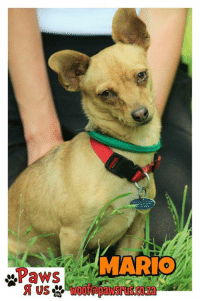 """Where are all the Signiorita's to ADOPT this HANDSOME BOY MARIO ! ??  WINTER has arrived and the tweenies struggle - Mario want to be tucked warm and safe in your heart, warm home and bed PLEASE SHARE !   PAWS R US (SA) - MEET MARIO!  AWWW - we have a BIG soft spot for our LITTLE MOCHACHO boy! He is a small CHIHUAHUA MIX and he has been through quite a bit of upheaval. So we really want to find him special humans and a safe place to call home.   BREED MIX: CHIHUAHUA X AGE: We estimate MARIO to be about 16 months old  SOCIALISATION: He is a gentle little guy - so he will socialise easily with other dogs based on a proper introduction and integration time MARIO has been NEUTERED, VACCINATED, DE-WORMED and MICRO-CHIPPED. All set and ready for bumping into his """"soulmate"""".   LOCATION: MARIO is currently located at our MIDRAND kennel facility  ENQUIRIES: For any questions related to our little man, or to make an appointment to come and meet him, please email us on woof@pawsrus.co.za.: Paws  MARIO Where are all the Signiorita's to ADOPT this HANDSOME BOY MARIO ! ??  WINTER has arrived and the tweenies struggle - Mario want to be tucked warm and safe in your heart, warm home and bed PLEASE SHARE !   PAWS R US (SA) - MEET MARIO!  AWWW - we have a BIG soft spot for our LITTLE MOCHACHO boy! He is a small CHIHUAHUA MIX and he has been through quite a bit of upheaval. So we really want to find him special humans and a safe place to call home.   BREED MIX: CHIHUAHUA X AGE: We estimate MARIO to be about 16 months old  SOCIALISATION: He is a gentle little guy - so he will socialise easily with other dogs based on a proper introduction and integration time MARIO has been NEUTERED, VACCINATED, DE-WORMED and MICRO-CHIPPED. All set and ready for bumping into his """"soulmate"""".   LOCATION: MARIO is currently located at our MIDRAND kennel facility  ENQUIRIES: For any questions related to our little man, or to make an appointment to come and meet him, please email us on woof@pawsrus.co.za."""