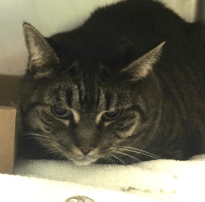 Apparently, Cats, and Children: Peach Hello, my name is Peach . My animal id is #57713. I am a desexed female brown tabby cat at the Manhattan Animal Care Center. The shelter thinks I am about 7 years old.  I came into the shelter as a aco impound on 20-Mar-2019.   Peach is at risk for behavioral reasons. Peach has not acclimated well to the care center and has shown distance increasing behaviors such as hissing and swatting. Peach would be best suited for an experienced, adult only cat home who can provide Peach with a gradual approach to help her slowly acclimate to new people and surroundings. Medically, Peach seems healthy.  *This account is not monitored. If you would like to reserve an animal that is available for public adoption, please follow the instructions on https://newhope.shelterbuddy.com/Animal/List. If an animal is listed as New Hope only, please contact an ACC New Hope partner that is accepting foster/adoption applications: http://www.nycacc.org/get-involved/new-hope/nhpartners *  My medical notes are... Weight: 16.9 lbs  L V T Notes Vet Notes  21/03/2019  [LVT Intake Exam]  Microchip Scan: negative, placed 985113002510217 Evidence of Cruelty: no Observed Behavior: allowed handling but would hiss and jump off the table to hide, did not flee around room but avoided touch Sex: spayed female Estimated Age: reported ~7y  Subjective: picked up by field from owner's home while in the hospital, no history, obese but seemingly healthy  Eyes: clear Ears: clean Oral Exam: moderate staining Heart: WNL Lungs: WNL Abdomen: WNL Musculoskeletal: obese, 7.5-8 BCS Mentation: BARH  Preliminary Assessment: obese but seemingly healthy  Plan: DVM intake  21/03/2019  [DVM Intake] DVM Intake Exam  Estimated age: 7 years Microchip noted on Intake? Placed at MACC Microchip Number (If Applicable):  History :  Subjective: BAR  Observed Behavior -She tried to flee. We had to catch her with a net. She was growling and hissing during exam but she allowed it.   Evidence of Cruelty seen -No  Evidence of Trauma seen -No  Objective   T = P =200 bpm R =eup BCS 5/9  EENT: Eyes clear, mild wax AU, no nasal or ocular discharge noted Oral Exam: Difficult to examine due to temperment PLN: No enlargements noted H/L: NSR, NMA, CRT < 2, Lungs clear, eupnic, no c/s ABD: Non painful, no masses palpated U/G: F/S, she has a spay scar MSI: Ambulatory x 4, skin free of parasites, no masses noted, healthy hair coat CNS: Mentation appropriate - no signs of neurologic abnormalities Rectal: Clean externally  Assessment: Apparently healthy  Prognosis: Good  Plan: No tx needed at this time  SURGERY: Already spayed  Details on my behavior are... Behavior Condition: 4. Orange  Behavior History Behavior Assessment The cat is aggressive towards other people. The cat would not let me approach him. The cat would hiss, swat and try to flee upon pick up. The cat had to be caught with a net. The owners daughter in law told me that the cat has always been like this around other people and was only friendly towards the original owner.  Basic Information:: The cats owner was placed in a nursing home and was not returning home to care for the cat. Limited behavior information was given because I was unable to speak to the owner directly about the cat.  Previously lived with:: 1 adult  How is this cat around strangers?: The cat would not let me approach him. The cat would hiss, swat and try to flee upon pick up. The cat had to be caught with a net. The owners daughter in law told me that the cat has always been like this around other people and was only friendly towards the original owner  How is this cat around children?: the cat would hiss at children  How is this cat around other cats?: the cat lived with another cat and they got along however the daughter in law believes the cat would not get along with any other cats.  How is this cat around dogs?: unknown  Behavior Notes: The cat is aggressive towards other people. The cat would not let me approach him. The cat would hiss, swat and try to flee upon pick up. The cat had to be caught with a net. The owners daughter in law told me that the cat has always been like this around other people and was only friendly towards the original owner.  Bite history:: none  Energy level/descriptors:: cat appeared to have a low energy level  Has this cat ever had any medical issues?: No   KNOWN HISTORY:: Peach Lived Indoors Previously lived with: an adult Behavior toward strangers: The cat would not let me approach him. The cat would hiss, swat and try to flee upon pick up. The cat had to be caught with a net. The owners daughter in law told me that the cat has always been like this around other people and was only friendly towards the original owner Behavior toward children: Would hiss  Bite or Scratch history: None  Litter box training: Yes  Energy level/descriptors: Appeared Low Energy Level  MEDICAL BEHAVIOR:: 3/21/19 Observed Behavior -She tried to flee. We had to catch her with a net. She was growling and hissing during exam but she allowed it.  ENRICHMENT NOTES:: 3/24/19 Peach was in the den. Peach was looking out the den hole at the assessor with dilated pupils. Peach eventually put head down to sniff treats dropped in den hole and eventually started to growl.  Cage Condition:: Cage is neat  Reaction to assessor:: Peach seems tense, crouched position hiding in the cat den during the approach.  Reaction when softly spoken to:: Peach show no interest, but eyes remain wide, pupils dilated.  Reaction to cage door opening:: Peach remains in hiding, ears erect and forward.  Reaction to touch:: Peach accepts brief pets on the head and body, but become agitated and hisses to stop the interaction.  ACTIVITY LEVEL:: Laid back  VOCAL:: Quiet  CHARACTER TYPE: : Timid,Independent  BEHAVIOR DETERMINATION: : Experienced, adult only  Behavior Asilomar: TM - Treatable-Manageable  BEHAVIOR SUMMARY:: Peach tolerates attention and petting but may be fearful or stressed in the shelter, and may be intimidated by small children. Due to the behaviors seen in the care center, we feel that this cat will do best in an experienced, adult only home who understands this cat may need time to warm up to her new home and family at her own pace.
