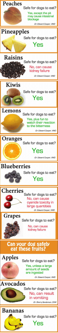 Apple, Dogs, and Friends: Peaches  Safe for dogs to eat?  Yes, except the pit  may cause intestinal  blockage  -Dr. Edward Cooper, VMD  Pineapples  Safe for dogs to eat?  Yes  Raisins  Safe for dogs to eat?  No, can cause  kidney failure  -Dr. Edward Cooper, VMD   Kiwis  Safe for dogs to eat?  Yes  Lemons  Safe for dogs to eat?  Yes, plus fun to  watch their reaction  to the bitterness  -Dr. Edward Cooper, VMD  Oranges  Safe for dogs to eat?  Yes  Dr. Edward Cooper, VMD   Blueberries  Safe for dogs to eat?  Yes  Cherries  Safe for dogs to eat?  No, can cause  cyanide toxicity in  large quantities  -Dr. Edward Cooper, VMD  Grapes  Safe for dogs to eat?  No, can cause  kidney failure   Can your dog safely  eat these fruits?  Apples  Safe for dogs to eat?  Yes, unless a large  amount of seeds  are ingested  -Dr. Edward Cooper, VMD  Avocados  Safe for dogs to eat?  No, can result  in vomiting  -Dr. Sherry Sanderson, DVM  Bananas  Safe for dogs to eat?  Yes RT TO SAVE SAVE UR FURRY FRIENDS LIVES!!!