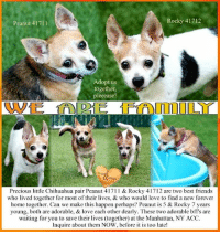"""Andrew Bogut, Animals, and Best Friend: Peanut 41711  Rocky 41712  Adopt us  together  pleeease?  Precious little Chihuahua pair Peanut 41711 & Rocky 41712 are two best friend:s  who lived together for most of their lives, & who would love to find a new forever  home together. Can we make this happen perhaps? Peanut is 5 & Rocky 7 years  young, both are adorable, & love each other dearly. These two adorable bffs are  waiting for you to save their lives (together) at the Manhattan, NY ACC.  Inquire about them NOW, before it is too late! NYC - **THESE pups NEED us NOW** We are Family ** A VOLUNTEER WRITES: """"We are looking for them to be placed together. Rocky is Average and Peanut Adult Only though I actually found Peanut to be the snugglier of the pair. Super cute and spry. A Chihuahua lover's dream both."""" <3 Precious little Chihuahua pair Peanut 41711 & Rocky 41712 are two BONDED best friends who lived together for most of their lives, & who would love to find a new forever home together. Can we make this happen perhaps? Peanut is 5 & Rocky 7 years young, both are adorable, & love each other dearly. These two adorable bff's are waiting for you to save their lives (together) at the Manhattan, NY ACC. Inquire about them NOW, before it is too late!  A VOLUNTEER WRITES: """"We are looking for them to be placed together. Rocky is Average and Peanut Adult Only though I actually found Peanut to be the snugglier of the pair. Super cute and spry. A Chihuahua lover's dream both."""" <3  ✔Pledge✔Tag✔Share✔Foster✔Adopt✔Save their lives!  Peanut 41711 http://www.nycacc.org/adopt/peanut-41711 Small Mixed Breed - Chihuahua Sex male Age 5 yrs (approx.) - 6 lbs My health has been checked.  My vaccinations are up to date. My worming is up to date.  I have been micro-chipped.  I am waiting for you at the Manhattan, NY ACC. Please, Please, Please, save us together!  Rocky 41712 http://www.nycacc.org/adopt/rocky-41712 Small Mixed Breed - Chihuahua Sex male Age 7 yrs (approx.) - 8 lbs My healt"""