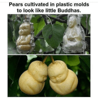 Memes, 🤖, and Underworld: Pears cultivated in plastic molds  to look like little Buddhas. - - fractal underworld cosmos nebula galaxy planets awakened enlightened psychedelic philosophy scifi atheism atheist bushdid911 pendulum infantannihilator deathcore truthseeker 4chan illuminati robswire cyberpunk jetfuelcantmeltsteelbeams space nihilism communism capitalism conspiracy anonymous anarchy - Backup: @psychedelic.fountain.v2 -