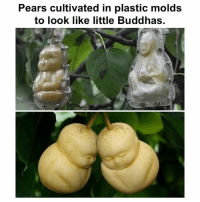 Buddha: Pears cultivated in plastic molds  to look like little Buddhas.