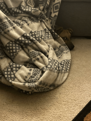Peek a boo! Our puppers loves to cuddle underneath blankets: Peek a boo! Our puppers loves to cuddle underneath blankets