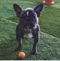 Memes, Bulldog, and Heat: PELEXX FRENCH BULLDOGRESCuEORG  i'v Please welcome Pele to FBRN! This adorable 3-year-old came to us when his family just couldn't get a handle on his allergies.   Pele is a ball fiend. Like his namesake, he is obsessed with balls, and he can jump shockingly high for a bulldog. Pele is also a Velcro hound, and if you stop, sit, or lie down to rest, he will be snuggled right up next to you, sharing your body heat and enjoying your softness.   Upon arriving into our care, Pele's first stop was a trip to the vet to see if we can get his itchies under control.  He got a prescription for the miracle drug, Apoquel, which has worked wonders on so many of our frogs. Like many medical miracles, it is expensive. If you are able, please consider sending him a donation to help cover the costs of his meds. frenchbulldogrescue.org/help-fbrn/foster-dogs/. Thank you!