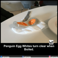 egg white: Penguin Egg Whites turn clear when  Boiled.  f/Life  Life FactsInc  Life Facts Inc