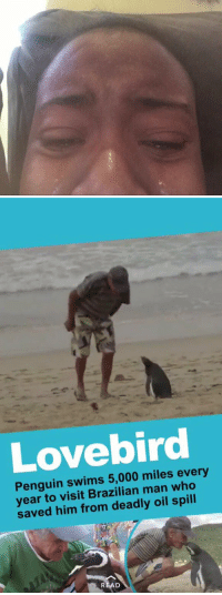Funny, Penguin, and Penguins: Penguin swims 5,000 miles every  year to visit Brazilian man who  saved him from deadly oil spill https://t.co/gH2QVFAve0