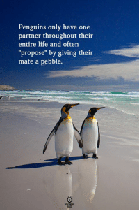 "Life, Penguins, and One: Penguins only have one  partner throughout their  entire life and often  ""propose"" by giving their  mate a pebble."