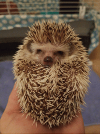 Hedgehog, Angry, and Penny: Penny, the grumpiest hedgehog.