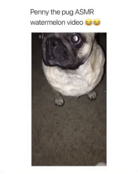 Friends, Memes, and Video: Penny the pug ASMR  watermelon video Dm to 5 friends for a follow 😍