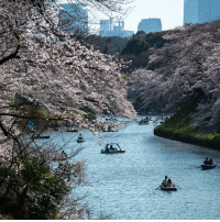 Life, Memes, and Flowers: People in Tokyo have been viewing and photographing cherry blossom in the city's parks.🌸 The Japanese have a long-held tradition of enjoying the blossoms which are deeply symbolic. Blossom appreciation is part of a Japanese cultural tradition of acknowledging the beauty and fleeting nature of life. Cherry blossoms only last for around one week and mark the beginning of spring. 🌸🌸 cherryblossom flowers japan tokyo nature bbcnews 📷Photos Carl Court-Getty Images