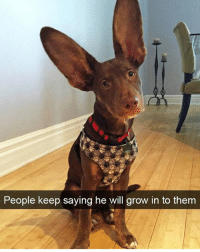 Funny, Hilarious, and Dog: People keep saying he will grow in to them Haters will say he's a bat dog. @dogsbeingbasic at it again with hilarious doggos