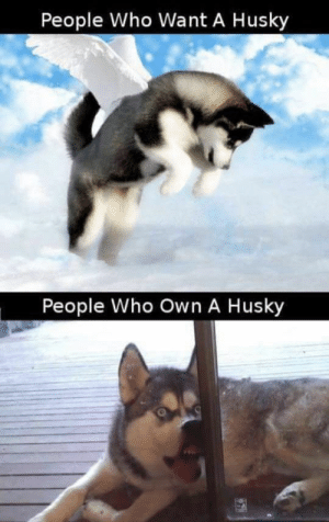 Animals, Funny, and Memes: People Who Want A Husky  People Who Own A Husky 50+ Funny Husky Memes That Will Keep You Laughing For Hours #husky #huskymemes #dogmemes #memes #funnymemes - Lovely Animals World