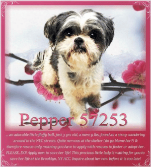 Animals, Desperate, and Dogs: Pepper 5253  . an adorable little fluffy ball, just 3yrs old, a mere 9 lbs, found as a stray wandering  around in the NYC streets. Quite nervous at the shelter (do ya blame her?) &  therefore rescue-only meaning you have to apply with rescues to foster or adopt hen  PLEASE, DO! Apply now to save her life! This precious little lady is waiting for you to  save her life at the Brooklyn, NYACC. Inquire about her now before it is too late! **FOSTER or ADOPTER NEEDED ASAP** Pepper 57253... an adorable little fluffy ball, just 3 yrs old, a mere 9 lbs, found as a stray wandering around in the NYC streets. Quite nervous at the shelter (do ya blame her?) & therefore rescue-only meaning you have to apply with rescues to foster or adopt her. PLEASE, DO! Apply now to save her life! This precious little lady is waiting for you to save her life at the Brooklyn, NY ACC.  ✔Pledge✔Tag✔Share✔FOSTER✔ADOPT✔Save her life!  Pepper 57253 Small Mixed Breed Sex female Age 3 yrs (approx.) - 9 lbs My health has been checked.  My vaccinations are up to date. My worming is up to date.  I have been micro-chipped.  I am waiting for you at the Brooklyn, NY ACC. Please, Please, Please, save me!  **************************************** To FOSTER or ADOPT this little nugget,  SPEAK UP NOW  &  APPLY with rescues  OR  message Must Love Dogs - Saving NYC Dogs for assistance immediately! **************************************  The general rule is to foster you have to be within 4 hours of the NYC ACC approved New Hope partner rescues you are applying with and to adopt you will have to be in the general NE US area; NY, NJ, CT, PA, DC, MD, DE, NH, RI, MA, VT & ME (some rescues will transport to VA).  **************************************  You must apply to rescues already approved to pull from NYC ACC shelters. Rescues can't do anything without APPLICATIONS! If your application is approved, rescue will arrange transport. ************************************** ... NOTE:  *** W