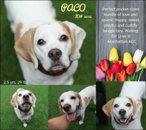Andrew Bogut, Cats, and Children: Perfect pocket-sized  bundle of love and  spunk! Happy, sweet  playful and cuddly  beagle boy. Waiting  for Love @  Manhattan ACC  ID# 41115  2.5 yrs, 29 lbs I have been returned :(  A volunteer writes:  If you're looking for the perfect pocket-sized (or NYC apartment-sized) bundle of love and spunk, look no further than sweet Paco! This gorgeous lemon beagle is royally sweet and will have you laughing and smiling with his silly antics all day! In his kennel Paco had tapping paws and little woofs to let me know he's ready to come out. Once out in the yard he simply couldn't contain his happiness, exploding in tongue-out, big-smile zoomies! Paco absolutely loved playing fetch and eating treats and was all smiles and appreciation for these simple things! After our game of fetch, Paco happily settled in next to me for cuddles and pets, one very satisfied pup! His zest for life (and fetch) is simply irresistible and he will no doubt bring endless laughter and love to the lives of his future (very lucky) family.  PACO aka KING JR, ID# 41115, 2 yrs and 6 mos old, 29 lbs, Manhattan Animal Care Center, Medium Mixed Breed Cross, White / Tan Neutered Male, Return  Owner Surrender Reason:  Shelter Assessment Rating:  Medical Behavior Rating:  -----------------------------------------------------  NOTES SECOND STAY / Intake 01/25/19  KING JR,, ID# 41115, 2 yrs and 4 mos old, 29.6 lbs, Manhattan Animal Care Center, Medium Mixed Breed Cross, White / Tan Neutered Male, Return  Owner Surrender Reason: not known yet  Shelter Assessment Rating:  Medical Behavior Rating:  --------------------------------------------------------------  NOTES FIRST STAY / Intake 09/10/18  King Jr. ID# 41115 Manhattan Animal Care Center  Sex: Male Age: 2 years old Length: Short Is Vaccinated: Yes Coat Type: Thick Primary Color: White Secondary Color: Tan Weight: 29.6 lbs. Intake Date: 09-10-2018  * TO FOSTER OR ADOPT *   If you would like to adopt a NYC ACC dog, and can 