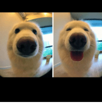 Memes, Reddit, and Perfect Timing: Perfectly timed before and after picture of a dog being told he's a good boy 😍 Reddit Author: JavaReallySucks