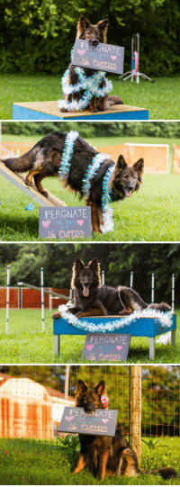 My best friend's dog is pregnant, so I did a maternity photo session.: PERGNATE  DUE JULY  O PUPPIES   PERGNATE  DUE JULY  7-9  lg PUPPIES   PERGNATE  DUE JULY  7-9  G PUPPIES  le   PERGNATE  DUE JULY  7-9  PUPPIES My best friend's dog is pregnant, so I did a maternity photo session.