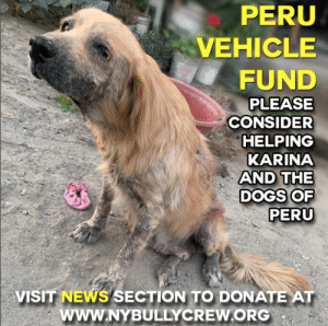 Animals, Desperate, and Dogs: PERU  VEHICLE  FUND  PLEASE  CONSIDER  HELPING  KARINA  AND THE  DOGS OF  PERU  VISIT NEWS SECTION TO DONATE AT  www.NYBULLYCREW.ORG VEHICLE FUND FOR KARINA 🚘  PLEASE DONATE- https://tinyurl.com/y49aeggx  Over the past few years, we have seen some of the worst health cases of  street dogs in locations such as Honduras and Peru.  We have also witnessed miraculous recoveries at the hands of our independent rescuers like Melissa and Karina. We also know that transportation is essential in getting the dire, emergency cases to the hospitals swiftly in order to make sure a dog gets immediate medical treatment.  Having a vehicle to transport such cases is the true difference between life and death.  So many times Karina has been denied travel from buses and taxis because the dogs are not permitted on board. Last year we successfully secured a vehicle for Melissa in Honduras with the help of your contributions. The implementation of that vehicle has saved countless lives, from being able to be rescued from the street to making critical treatment appointments and ultimately being able to transport the adoptables to the airport to finally travel to their forever families stateside.  Noble, Lady, Isa, Malachi, Biscuit, Kanga, Roo, Perkins and Odie all found unconditional love because they were able to make flight plans and arrive in the USA.Our request for assistance is to make this available to Karina in Peru so that the dogs that have been rescued and rehabilitated can also find families in the USA.  Karina has been denied so often by public transportation, dogs are suffering because they cannot reach the clinic for care.  Also, the sanctuary is 8 hours away from the airport so getting dogs to their Freedom Flight is next to impossible without the means of a car.  Dogs like Mastro and Pablo are patiently waiting for their chance, but without transport available, their dream may never become reality. We ask for your consideration and compassion at this time to assist in raising funds so that we can secure a vehicle for Karina so she can continue to be effective in her area and keep making a difference in the lives of the animals in desperate need. Please donate to this vehicle fund at www.nybullycrew.org > NEWS> Peru Vehicle Fund https://tinyurl.com/y49aeggx  Or Venmo @newyorkbullycrew  #nybcvehiclefund #nybcperu #rescuehasnoborders