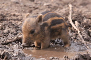 pet-corner:  Cute Baby WarthogVisit our pet site!: pet-corner:  Cute Baby WarthogVisit our pet site!