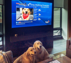 News, Forecast, and Toronto: PetComfort  Dog Walking Forecast  by Weather Tech&n  This Evening in Toronto  |7 PM  Tara, 3 years old  22°  9 PM  21°  lobal  NEWS  11 PM  20°  Global  NEWS  f  O@stormtheweatherdog  #walkwithstorm  prma My dog was on the local news!