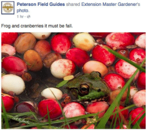 Fall, Target, and Tumblr: Peterson Field Guides shared Extension Master Gardener's  photo  İhr.@  Frog and cranberries it must be fall. cardboardlamb: oolongearlgrey:  bike-path:  Frog and cranberries it must be fall.    Frog and cranberries it must be fall.    Frog and cranberries it must be fall.