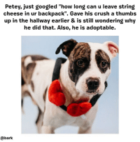 "Crush, Dogs, and Memes: Petey, just googled ""how long can u leave string  cheese in ur backpack"". Gave his crush a thumbs  up in the hallway earlier & is still wondering why  he did that. Also, he is adoptable.  Petey,  just googled ""no «ave his crush a thum  @bark Sometimes a needy pup is one photo away from a forever home. We partnered with rescues & shelters across the country to give adoptable dogs a professional photo shoot featuring our newest LCB Essentials Collection to showcase these pups as their best playful selves. Find the full lightscamerabark photo shoot at ruv.me-shelterpups Petey is still adoptable from @dallasdogrrr 📷 @ahppetite"
