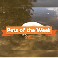 Lift your mood by watching our #PetsoftheWeek video! 😍: Pets of the Week  pets  Healthy  HealthyPets.Mercola.com Lift your mood by watching our #PetsoftheWeek video! 😍
