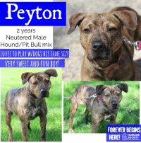 Dogs, Memes, and Puppies: Peyton  2 years  Neutered Male  Hound/Pit Bull mix  LOVES TO PLAY W/DOGS HIS SAME SIZE  VERY SWEET AND FUN BOY  FOREVER BEGINS  HUMANE  SOCIETY  MIDLAND COUNTY All dogs/puppies in our shelter can be viewed here.  Any dog not being held as a stray is available for immediate, same-day adoption! Adoption applications are reviewed on site. Please share our dogs and help get them out of the shelter as quickly as possible!  **PLEASE NOTE**  Placing an application on a dog featured in this album does NOT hold the dog for you.  All available dogs are available to be met and adopted same day if already altered.  If not altered, the dog can be met and paid for in order to hold the dog for you.  Thank you for your understanding!